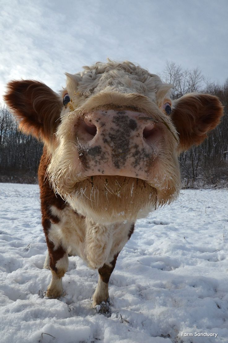 Hazel, we wanted a close-up, but not THAT close up. Farm Sanctuary is committed to ending cruelty to farm animals and promoting compassionate vegan living through rescue, education, and advocacy efforts. Please join us. A compassionate world begins with you! http://www.farmsanctuary.org