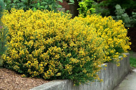 Genista tinctoria Dyers Broom ground cover 30 seeds by SmartSeeds
