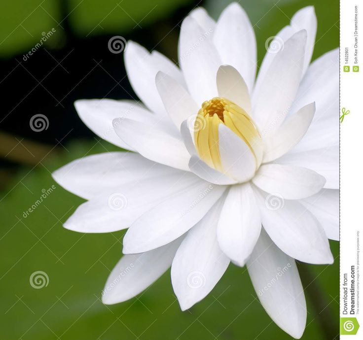 White Lily Flower Stock Photos – 27,499 White Lily Flower Stock ...