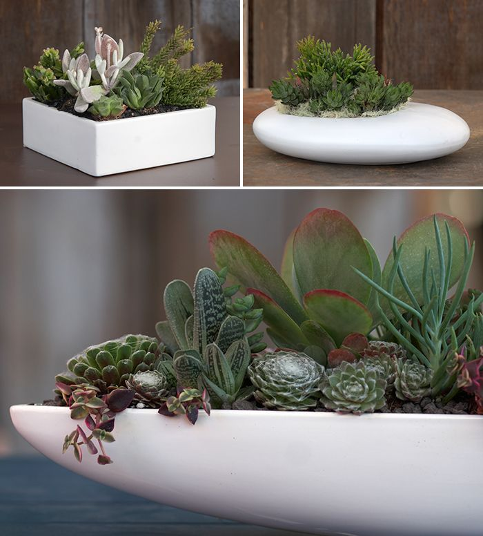 Great white ceramic containers planted with succulents. Very Mid Century Modern