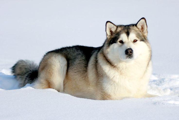 Аляскинский маламут – это крепкий пес с отлично развитой мускулатурой, сильными ногами и крепкими лапами, благодаря которым он с легкостью ходит по снегу...