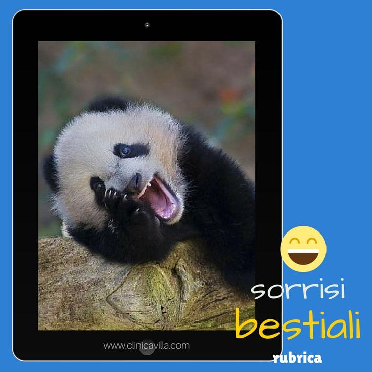 Con una mascella potente e i denti robusti(sette volte più forti e più ampi di quelli degli esseri umani), i panda giganti distruggono e macinano il bambù.