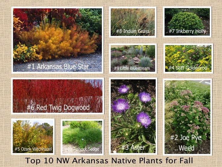 12 best images about top 10 native plants for fall in nw arkansas on pinterest