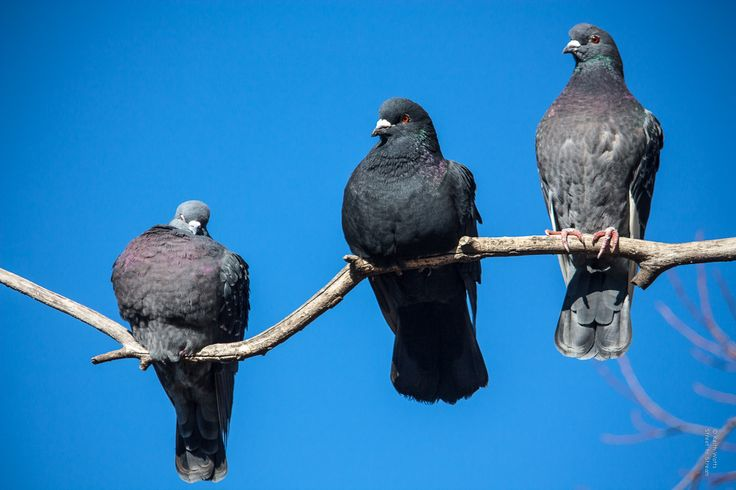 Like a Bird on a Branch - Three pigeons take time to rest near the lake in Canberra.
