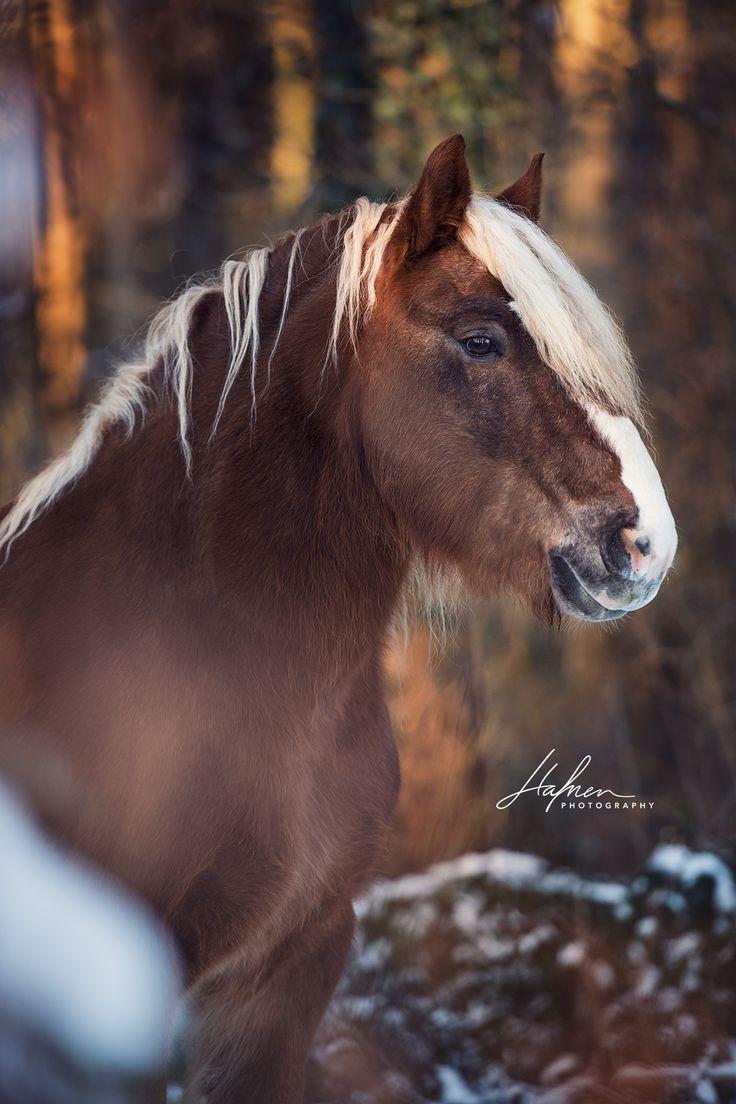 Schwarzwälder Fuchs Wallachsteht im Winter im Wald | Portrait | Pferd | Bilder | Foto | Fotografie | Fotoshooting | Pferdefotografie | Pferdefotograf…