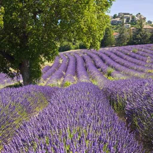 [LAVANDE] Lavander / Lavande #provence #alpes #cote #azur #tourism #tourisme #france #south #sun #lavande #lavander