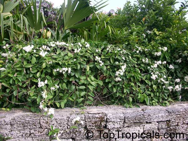 28 best how to grow frangipani images on pinterest for Stephanotis exterieur