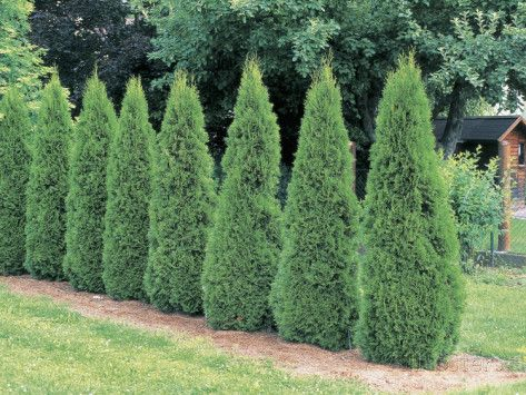 Evergreen Trees known as arborvitaes (from Latin for tree of life) or thujas; genus of coniferous trees in the Cupressaceae (cypress family). There are five species in the genus, two native to North America.  Thuja occidentalis  native to northeast US & Canada