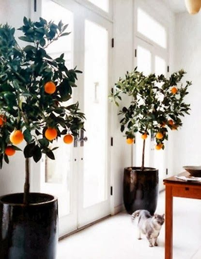: Idea, Interiors, Plants, Front Doors, Fruit Trees, Orange Trees, House, Indoor Trees, Citrus Trees