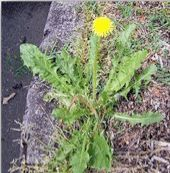 """Dandelion Taraxacum officinale is a common herb we often overlook. For many gardeners, dandelion is a """"problem weed"""" ruining their lawn, but for herbalists, dandelions are a rich source of vitamins (including A and C), minerals (iron and calcium), and detox supports."""