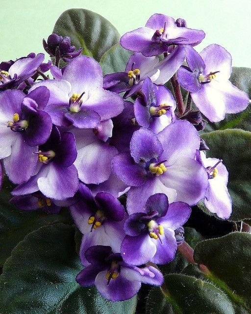 purple african violets - African Violets