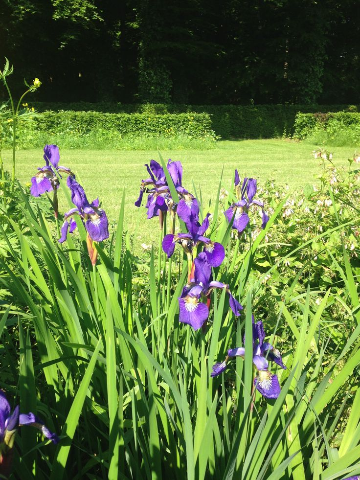 Iris - lelie - mooi in bloei - juni - paars