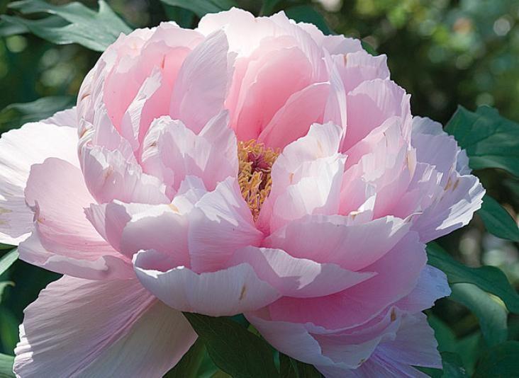 Il suffit de quelques trucs et astuces pour que votre pivoine arbustive donne une belle floraison – C. Hochet - Rustica