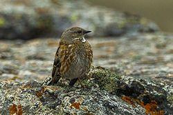 El acentor Altai ( Prunella himalayana ) es una especie de ave en el Prunellidae familia. También se conoce como el acentor-rufo rayado o acentor Himalaya . Se reproduce en las montañas de Altai en el oeste de Mongolia ; Pasa el invierno en el sur de Tian Shan y el Himalaya rangos.
