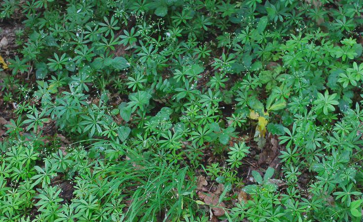 Ein Waldmeistermeer aus dem Wildpflanzenmonat... Schauen die Blüten nicht wie Zauberglitzer aus? (:
