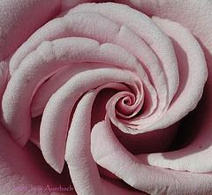 Formation of Fibonacci Spirals in Nature