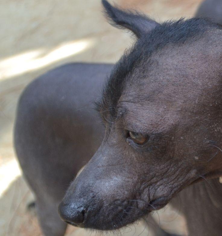 El Xoloitzcuintle, el perro pelón mexicano