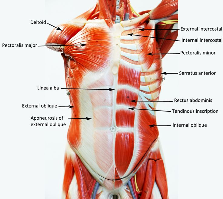 Male Muscle Figure - Labeled