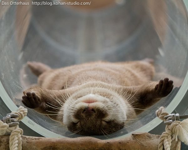 The ultimate in otter relaxation - January 31, 2013 - A second photo at the link http://dailyotter.org/2013/01/31/the-ultimate-in-otter-relaxation/ !