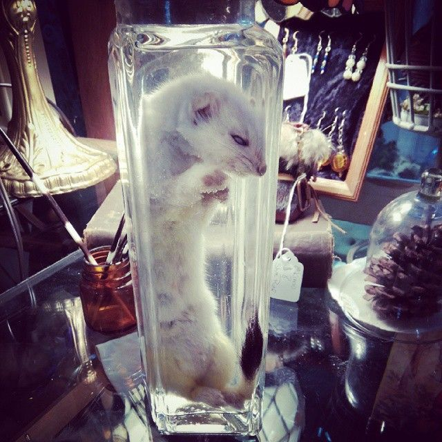 Ermine wet specimen. Available at American Ritual Tattoo and Wunderkammer Curiosity Shoppe