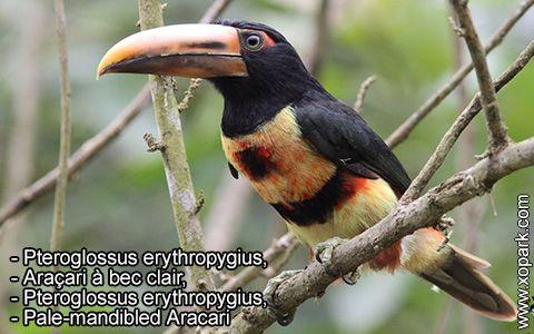 Pteroglossus erythropygius – Araçari à bec clair –Pteroglossus erythropygius –Pale-mandibled Aracari – xopark6