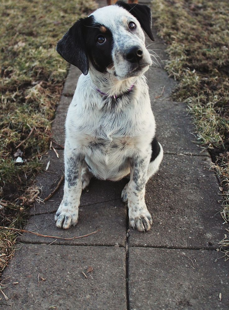 Blue heeler- jack Russell mix  LOOKS LIKE SAMIE IF THE DOG IN THE PIC HAD LESS BLACK! ~~Taylor!
