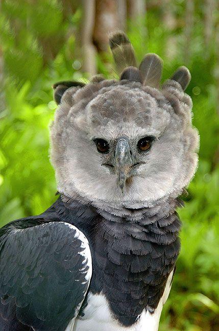 Águila arpía, una de las especies más fascinantes del planeta, ahora extinta en Chiapas. ¡Mi favorita!