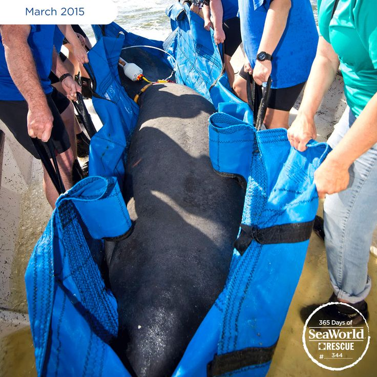 To return this rescued 800+ lb. manatee to the wild, a team from SeaWorld, the Florida Fish and Wildlife Conservation Commission and the Sea to Shore Alliance partnered together. #365DaysOfRescue