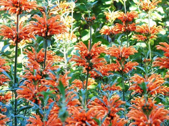 Hardy and Versatile Flowering Shrub: Leonotis leonurus
