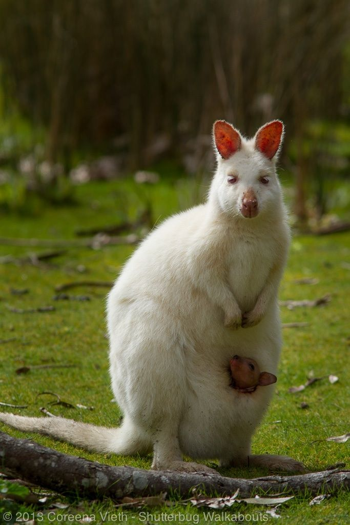 Bruny Island white wallaby... A 'painted' wallaby (just a couple of genes short of being an albino). Tasmania, Australia, wildlife