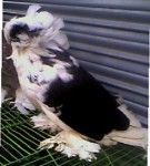 Bokhara Adult Running Nor pigeon for sale