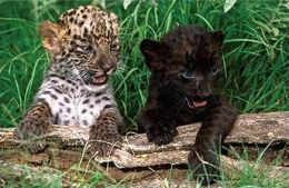 Genetic Anomalies in Wild Cats   Panthers, Jaguar and ...