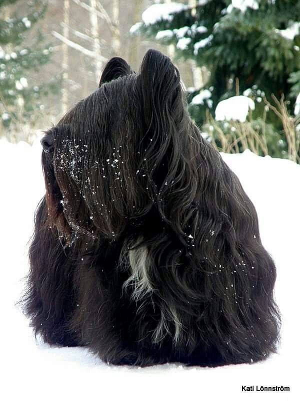 Skye Terrier suited for Simbae's Long Haired Shampoo & Conditioner