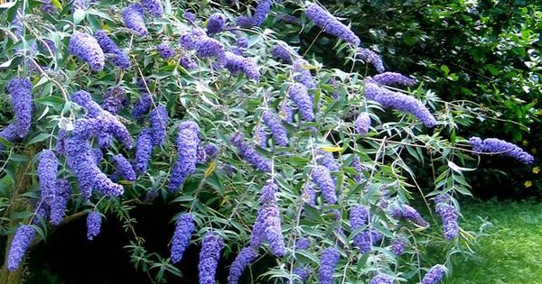 Buddleja davidii Adonis Blue (Vlinderstruik) - 1 heester - Garden design and art   Pinterest - Tuin, Planten en Tuinplanten