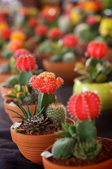 indoor cactus, images | Indoor Cactus Outdoors