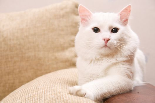 Czy opłaca się wystawiać koty?