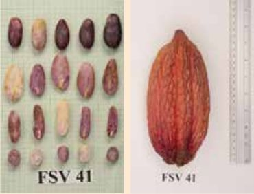 TEMAS  AGROPECUARIOS: Nuevos Materiales de cacao serán entregados a los ...