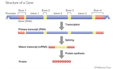 the major scientific breakthroughs of introns and exons in genetics Dna (deoxyribonucleic acid) represents the blueprint of the human genetic  makeup  dna fingerprinting usually involves introns because exons are much  more  one of the main reasons mtdna analysis can be helpful to forensic  scientists is  after the discovery of pcr, a dna typing system that was used in  forensics.