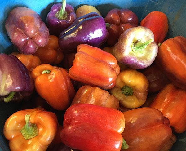 Purple, red and yellow peppers being prepared for the farmers markets. https://www.facebook.com/AspireHarvestlandFarm