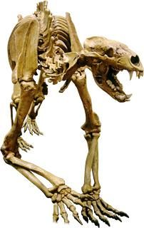 Arctodus simus (Giant Short-Faced Bear) from the Quaternary in South Dakota  © 2004 David Smith