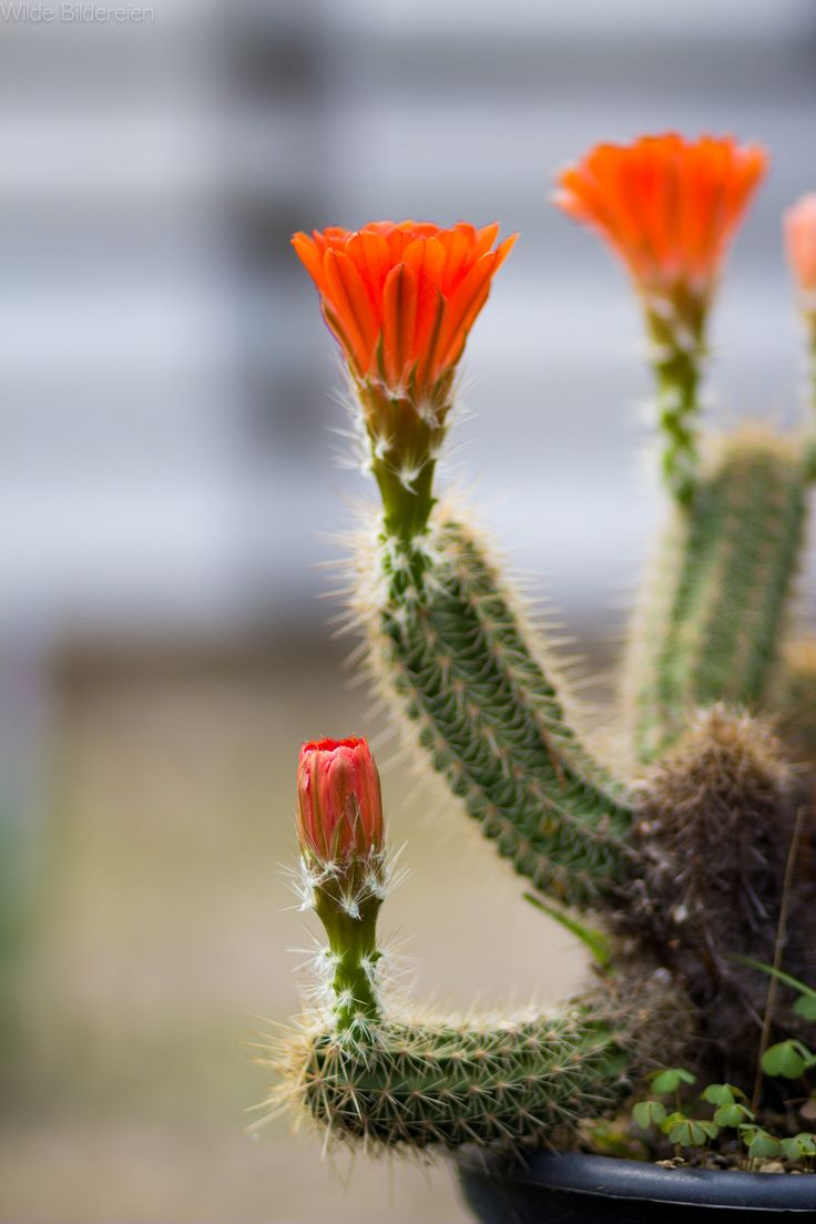 Amazing Cacti at Garden Life exhibition at lower rhine outdoor museum Grefrath Germany