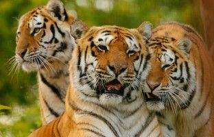 WIN THE CHANCE TO FEED A TIGER! Source: Tyrrells English Crisps — Monthly Prize Draw