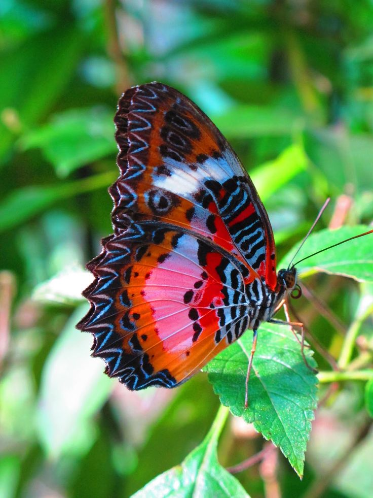 stressed in the city: Malay Lacewing