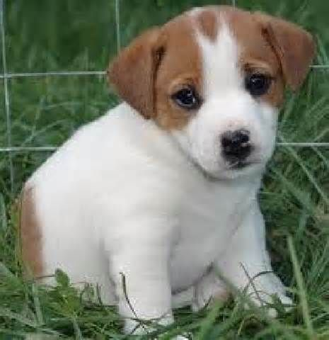 mini jack russell puppy