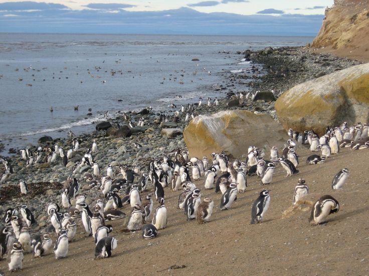 Punta Arenas Chile - Pingüinos en Punta Arenas, Chile