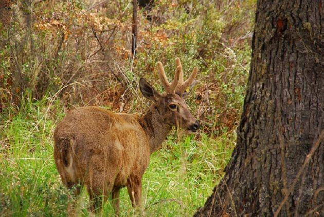 Resultados de la Búsqueda de imágenes de Google de http://scpachile.org/wp-content/oqey_gallery/galleries/animales-chilenos-en-peligro-de-extincion/galimg/huemul.jpg