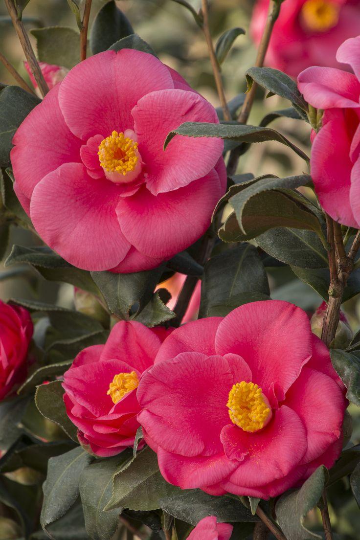 Anacostia Japanese Camellia has abundant and large, semi