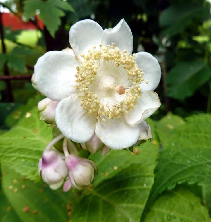 Tankar om och från min trädgård.: Vit Lundsköna - Deinanthe bifida - frösådd- med stratifiering