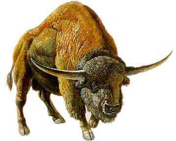 Bison latifrons - ice age bison twice as large as modern bison with longhorn-type horns.