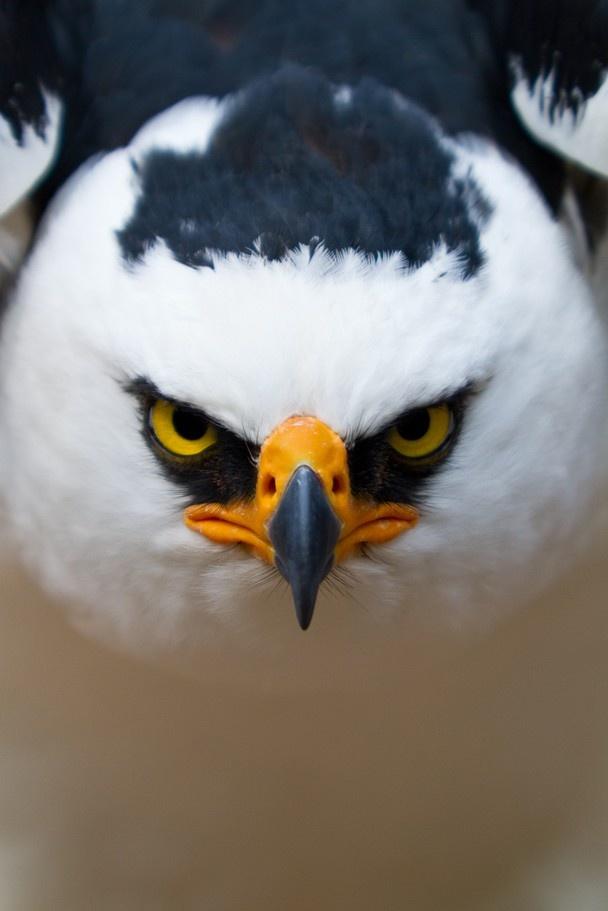 Black and White Hawk Eagle #BirdsofPrey #BirdofPrey #Bird of Prey #LIFECommunity